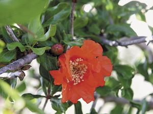 Flor del magraner. Foto: M. Marí.