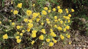 Mançanella (<em>Helichrysum stoechas</em>). Foto: Guillem Puget Acebo.