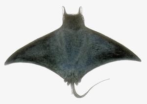 Dibuix de Núria Valverde Costa d´un peix manta (<em>Mobula mobular</em>), espècie no gaire abundant a les aigües pitiüses.