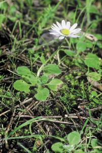 Un exemple florit de margalideta (<em>Bellis annua</em>). Foto: David Carrera Bonet.