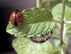 Adult i larva d´una marieta (<em>Coccinella septempunctata</em>). Foto: David Carrera Bonet.