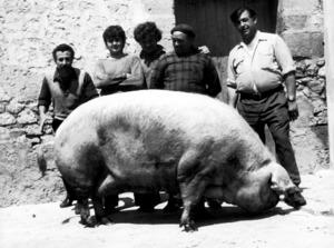 L´animal i els matancers abans de començar la matança. Foto: Josep Buil Mayral.