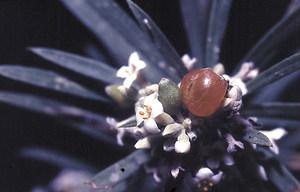 El matapoll amb les seues característiques flors blanques i grisenques. Foto: David Carrera Bonet.