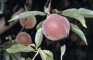 Fruit i fulles d´un melicotoner, arbre de la família de les rosàcies. Foto: David Carrera Bonet.