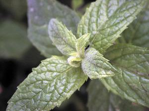 Fulles de menta, planta emprada per aromatitzar diversos plats de la cuina pitiüsa. Foto: EEiF.