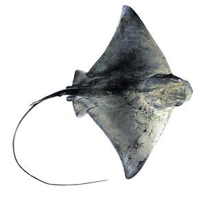El peix milà, amb grans aletes pectorals. Extret de <em>Peixos de les Illes Balears.</em>