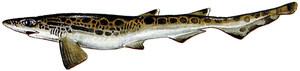 Una moixina (<em>Galeus melastomus</em>), peix de la família dels esciliorínids, freqüent a les aigües mediterrànies. Dibuix: Juan A. Moreno / <em>Història Natural dels Països Catalans.</em>