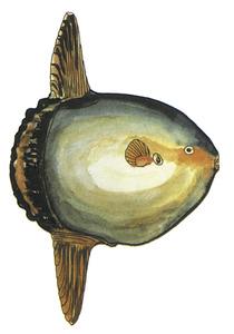 Dibuix d´un bot, peix de la família dels mòlids. Extret de <em>Guía de la flora y fauna del mar Balear.</em>