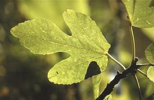 Fulla de figuera (<em>Ficus carica</em>), la moràcia de més importància econòmica de les Pitiüses. Foto: David Carrera Bonet.