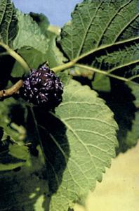 Fulla i fruit de la morera (<em>Morus nigra</em>). Cortesia de la <em>Gran Enciclopèdia Catalana</em>.