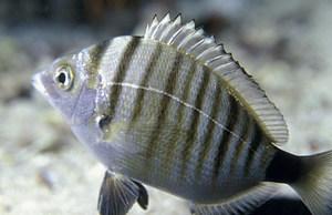El peix <em>Diplodus puntazzo</em>, conegut amb el nom de morruda. Foto: Manu San Félix.