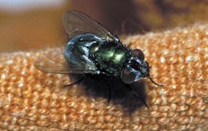 Una mosca verda. Foto: David Carrera Bonet.