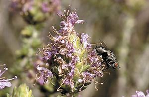 Exemplar de mosca domèstica o comuna sobre frígola de Sant Joan. Foto: David Carrera Bonet.