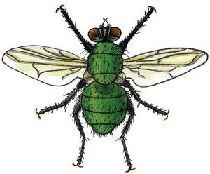 Dibuix d´una mosca verda. Dibuix: Núria Valverde Costa.