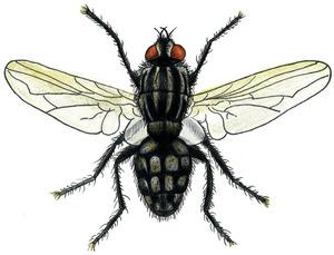 Dibuix d´una mosca dels femers. Dibuix: Núria Valverde Costa.