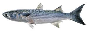 Un exemplar de llissa, de la família dels mugílids. Extret de <em>Peixos de les Illes Balears.</em>