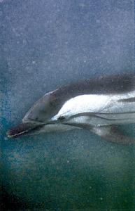 Un dofí mular. Extret de <em>Guía submarina de Ibiza y Formentera.</em>