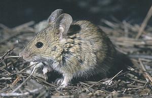 El ratolí mediterrani, de costums antropòfils, que pertany a la família dels múrids. Foto: David Carrera Bonet.