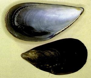Un musclo (<em>Mytilus galloprovincialis</em>). Foto: Extret de <em>Guía de la flora y fauna del mar Balear.</em>