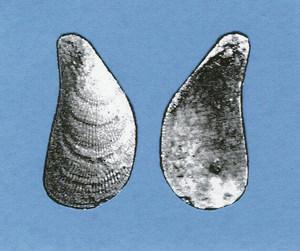 Musclo. Un fòssil de <em>Mytilus senegalensis</em>, petit musclo que es caracteritza pel dibuix estriat de la seua conquilla. Foto: Xavier Guasch Ribas.