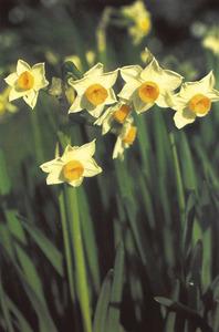 <em>Narcissus tazetta</em>, narcís, planta de la família de les amaril·lidàcies que floreix a l´hivern. Foto: Enciclopèdia de Menorca.