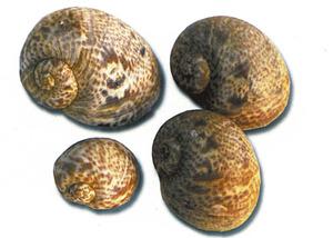 <em>Naticarius cruentatus</em>, caragols marins de la família dels natícids, popularment coneguts com caragols lluna. Extret de <em>Recursos Marins del Mediterrani.</em>