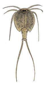 Una tortugueta, crustaci de l´ordre dels notostracis. Dibuix: Núria Valverde Costa.