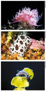 Diversos exemplars dels gasteròpodes nudibranquis: de dalt a baix, <em>Flabellina affinis</em>, <em>Discodoris atromaculata</em> i <em>Hypselodoris villafranca</em>. Fotos: Rainer Klingner.