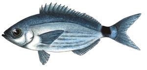 Una oblada, peix molt freqüent a les aigües pitiüses. Dibuix: Núria Valverde Costa.
