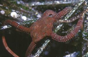 Un exemplar d´equinoderm de la classe dels ofiuroïdeus. Foto: Manu San Félix.