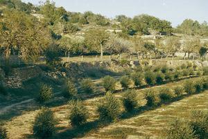 Terç amb una plantació jove d´oliveres. Són arbres de la família de les oleàcies. Foto: Mercedes Garijo Falcó / Arxiu d´Imatge i So del Consell Insular d´Eivissa.