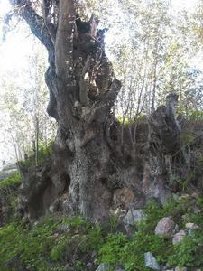 Soca d´una olivera vella d´Atzaró. Foto: Felip Cirer Costa.