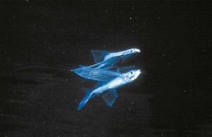 Dos exemplars d´orenol, peixos amb les aletes pectorals molt desenvolupades, la qual cosa els permet realitzar petits vols. Foto: Rainer Klingner.