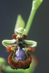 Detall d´una flor d´<em>Ophrys vernixia</em>, un altre exemplar d´orquid&agrave;cia.<strong></strong> Foto: David Carrera Bonet.