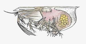 Dibuix d´un crustaci de la subclasse dels ostracodes. Foto: Núria Valverde Costa.