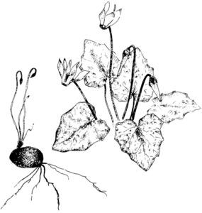 Dibuix de la planta pa porcí (<em>Cyclamen balearicum</em>), extret de <em>Nova aportació al coneixement de les plantes d´Eivissa i Formentera</em>.