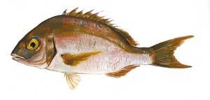 Un pagell, peix de la família dels espàrids. Extret de <em>Peixos de les Illes Balears</em>.