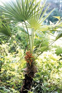 Palmer (<em>Chamaerops humilis</em>) amb fruits.l Foto: David Carrera Bonet.