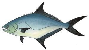 Una palomida, peix de cos allargat i comprimit, de color gris amb reflexos verdosos. Dibuix: Núria Valverde Costa.