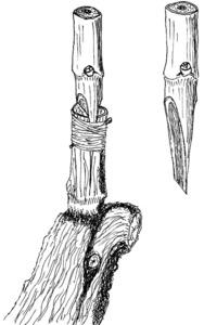 Un empelt de parra. Dibuix: Cristòbal Guerau d´Arellano Vilanova.