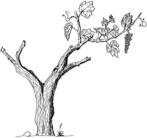 Dibuix on es pot apreciar com s´esporga la parra. Dibuix: Cristòbal Guerau d´Arellano Vilanova.