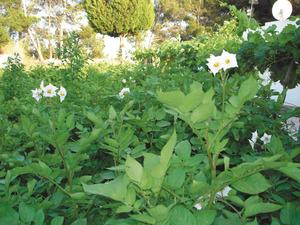 Plantes de patata amb les seues flors. Foto: EEiF.