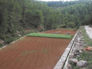 Un dau de patata a l´hort de sa Plana, a la vall de Buscastell. Foto: EEiF.