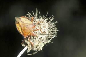 Exemplar adult d´insecte de la família dels pentatòmids (<em>Carpocoris mediterraneus atlanticus</em>), espècie comuna sobre la vegetació de camps i erms. Foto: David Carrera Bonet.