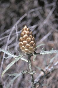 La planta anomenada perdiueta, amb la seua característica flor en forma de pinya. Foto: Miquel Alejandro Vericat Marcuello.