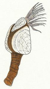 Detall del crustaci conegut amb el nom de peu de cabrit. Dibuix: Núria Valverde Costa.