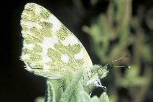La papallona coneguda com blanqueta de la mostassa, de la família dels pièrids. Foto: David Carrera Bonet.