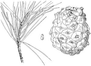 Fruit i fulles d´un pi ver (<em>Pinus pinea</em>); les pinyes són grosses, quasi tan amples com llargues, amb els escuts de les esquames bonyeguts. Dibuix: Josep Escandell.