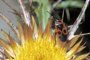 La xinxa vermella, insecte de la família dels pirrocòrids. Foto: David Carrera Bonet.