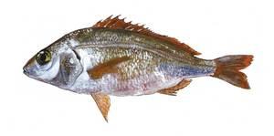 La xerla roncadora (<em>Pomadasys incisus</em>), principal representant a les Balears dels pomadàsids. Extret de <em>Peixos de les Illes Balears</em>.
